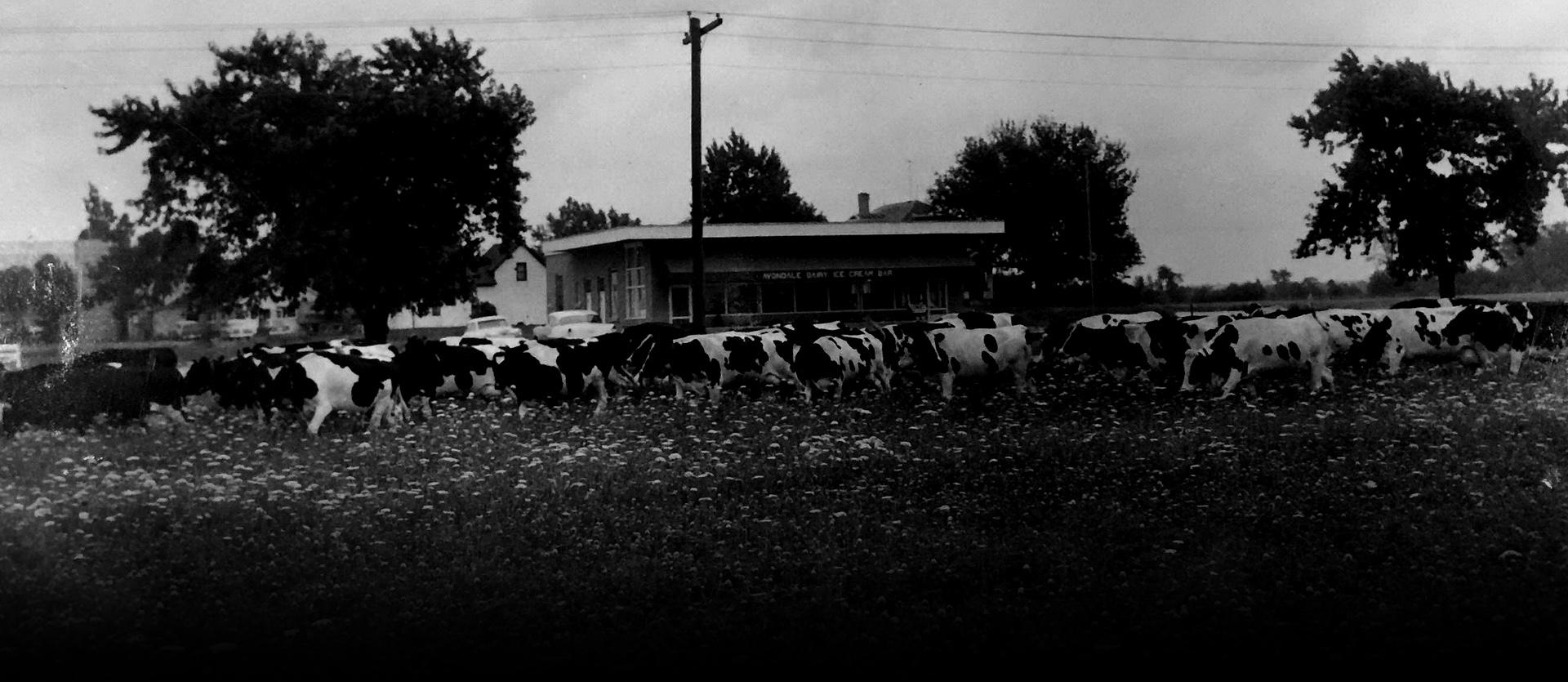 cows1 - 1958